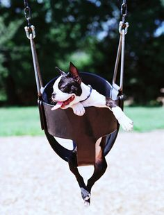 This Boston Terrier named Obi Enjoys Playing at the Park and he looks so Happy in the Baby Swing at 3 Months Old! ► http://www.bterrier.com/?p=26536