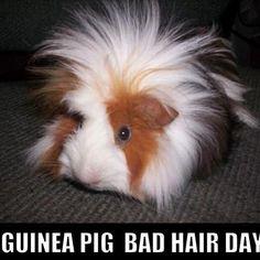Guinea Pig Bad Hair Day