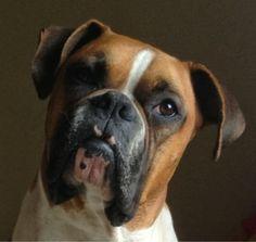 Mi perro Boxer es mi hijo