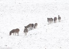 Zebras in the snow at Golden Gate Highlands National Park in Free State, South Africa.  Cold fronts caused snowfalls in many places in South Africa from 14 August 2017.