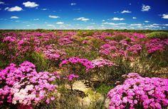 Wild Flowers at Kalbarri, Western Australia Australian Wildflowers, Australian Native Flowers, Australian Plants, Australian Garden, Australian Animals, Perth Western Australia, Australia Travel, Flower Landscape, Felder