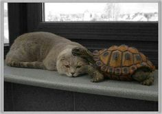 Animal Friendships, cat and turtle