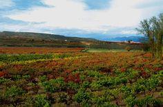 El viñedo. #wine #vino #viñedos #rioja #murilloviteri