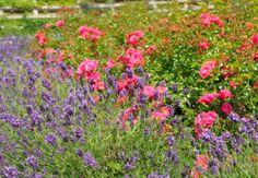 Blühende Rosen mit Lavendel.