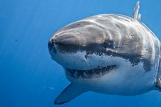 Great White Shark Photography of George T. Probst