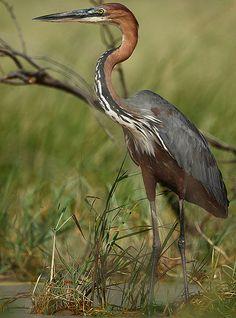 File:Ardea goliath -Lake Baringo, Kenya-8.jpg