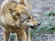 Wolf in defense!