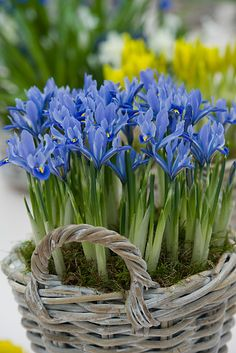 Blue Iris in container