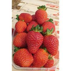 fraisier-san-andreas fraise