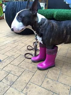 The puppy giving the stink eye to whoever put those boots on him