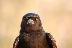 An African fork-tailed drongo, which can mimic the alarm cries of dozens of species.