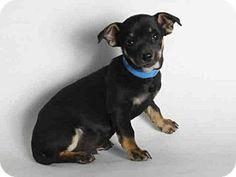 San Pedro, CA - Chihuahua Mix. Meet A1557410, a puppy for adoption. http://www.adoptapet.com/pet/13033535-san-pedro-california-chihuahua-mix