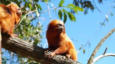 """""""The wild population of the golden lion tamarin, which lives only in Brazil's Atlantic Forest, fell to just 200 in the 1970s."""""""