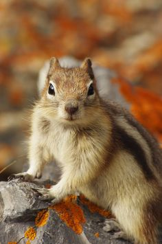 squirrel-(chipmunk)