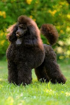 Victoria Festiva Baskhir Curly - Poodles In Scandinavia