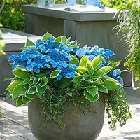 Gardening Container SUCH A GORGEOUS PLANTER ~ Shade Container = Blue Wave Hydrangea= Hosta Francee = Ivy - Whether you've got an acre of land or just a windowsill, it's a good idea to grow herbs in containers for easy access to their wonderful flavors. Container Flowers, Container Plants, Container Gardening, Plant Containers, Container Vegetables, Planters For Shade, Garden Planters, Front Yard Planters, Porch Garden