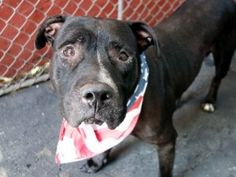 My name is Mackie, I'm 5 yrs old . I know the ropes. NYCAC&C is here in NY to liquidate dogs like me. There are so many discarded dogs because people lack compassion , Pit Bulls are the first on the list to be exterminated. Don't you just love the greatest country in the world and how 100's of dogs are killed like rats on a daily basis. DEAD 2015