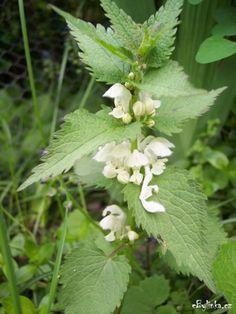 Hluchavka bílá (Lamium album) Čelď: Hluchavkovité (Lamiaceae)