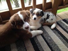 Red Tri Australian Shepherd, and Blue Merle Australian shepherd puppy