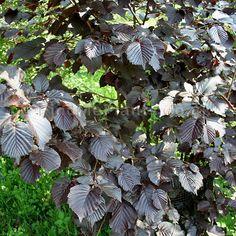 Plant Pictures: Corylus avellana - 'Purpurea' (Purple leaved Hazel)