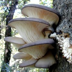 OYSTER MUSHROOM [Pleurotus ostreatus] The oyster mushroom, is a common edible mushroom. It was first cultivated in Germany as a subsistence measure during World War I and is now grown commercially around the world for food.