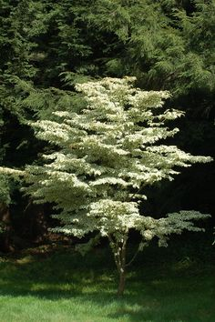 Cornus kousa 'Snowboy' is a type of Japanese dogwood tree with variegated leaves. I grow another type: 'Wolf Eyes.' I relate my experience with using 'Wolf Eyes' in the landscape here: http://landscaping.about.com/od/floweringtrees/p/cornus_kousa.htm
