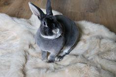 Ludo our Blue Otter Mini Rex Mini Rex Rabbit, Jack Rabbit, Pet Rabbit, Dwarf Bunnies, Bunny Rabbits, Rabbit Colors, Bunny Book, Rabbit Breeds, Exotic Pets