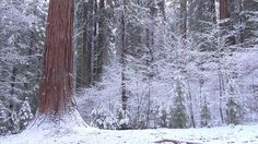 A winter stroll through Tuolumne Grove in Yosemite National Park with everything covered in fresh snow. Yosemite National Park, National Parks, Beautiful Places, Snow, Nature, Eyes, Let It Snow