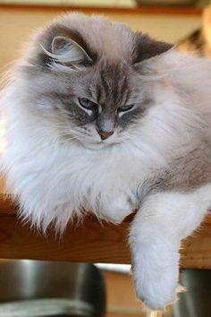 Siberian Neva Masquarade - blue torbie point / white - breeder: Kerstin Baumgarten - Cattery: http://www.du-palais-d-hiver.de/