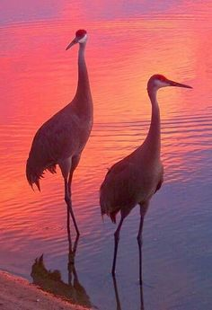 Loons And Turtles And Cranes Oh My >> 14 Best Crane Variations Images Birds Beautiful Birds Crane Bird