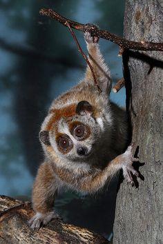 Slow Loris (Cincinnati Zoo) - What do you think he is watching?