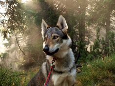 10 Expensive Dogs Only Rich People Can Afford To Buy Nature Animals, Animals And Pets, Cute Animals, Wolfdog Hybrid, Tamaskan Dog, Czechoslovakian Wolfdog, Most Expensive Dog, Wolf Husky, Dog Wallpaper