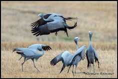 amazing courtship dance of the Blue Crane Crane Dance, Watercolor Bird, Animal Kingdom, South Africa, Funny Animals, Safari, Wildlife, African, Blue