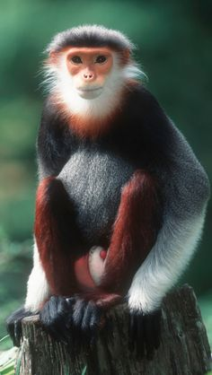 Red-shanked douc langur ~ Cambodia, Lao PDR, Vietnam • photo: WWF-Canon / Martin Harvey