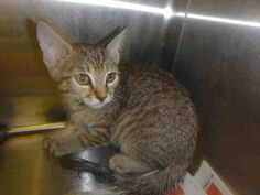 A1646640 - URGENT - CITY OF LOS ANGELES SOUTH LA ANIMAL SHELTER in Los Angeles, CA - ADOPT OR FOSTER - Male KITTEN Domestic SH