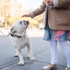 """Can I pet him?""  Potato English Bulldog (5 y/o) 10th & Greenwich Ave. New York NY #thedogist"