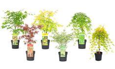 Groupon Goods Global GmbH: Set van 4, 6 of 8 Japanse esdoorns 25-40 cm