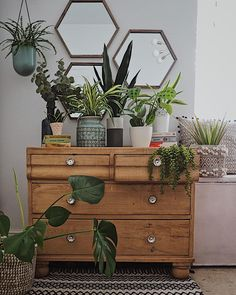 A wonderful selection of plants on this beautiful vintage chest of drawers in the bedroom