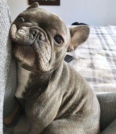 Baby French Bulldog, French Bulldog Facts, French Bulldogs, Cute Funny Animals, Cute Baby Animals, Animals And Pets, Cute Dogs And Puppies, Baby Dogs, Doggies