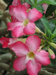 Adenium Obesum ,Rose du Désert.....a plant with marvelous flowers