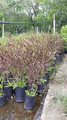Plantas Para Cerco Dodonea 1,4m Plantas Oferta Envios Vivero