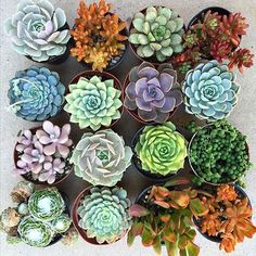 Colorful Succulents | Fun Household Plants