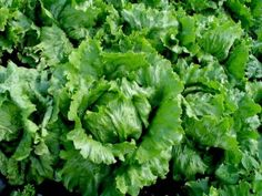 Estival lettuce was named Seed of the Year , recognizes publicly developed Canadian cultivars of field crops, forages, fruits, vegetables or herbs Food Industry, Jenni, Quebec, Agriculture, Lettuce, Competition, Seeds, Canada, Fruit