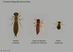 Water to Air – Baby Dragonflies | Dragonfly larvae and Fly tying