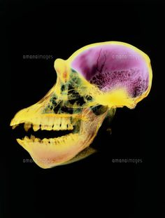 Coloured X-ray of an adult chimpanzee skull (c)SCIENCE PHOTO LIBRARY