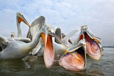 The Dalmation pelicans in Northern Greece fish on their own, steal some fish from the cormorants and also try to capture some fish when the nets from the local fisherman are emptied. www.insightintonature.com