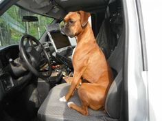 #Boxer #Dog Ginger guards the chariot...