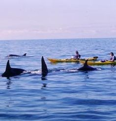 orca kayakers washington... I HAVE to do this before I get to old to do it!