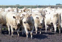 Son animales portadores de una masa muscular muy desarrollada, con copiosa concentración de carne en los cuartos posteriores, precisamente donde se encuentran los cortes de mayor calidad y, por añadidura junto al lomo los de mejor cotización. El prod