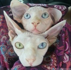 Rumple with His odd eyed mama, Pinky! Sphynx kitten and cat!